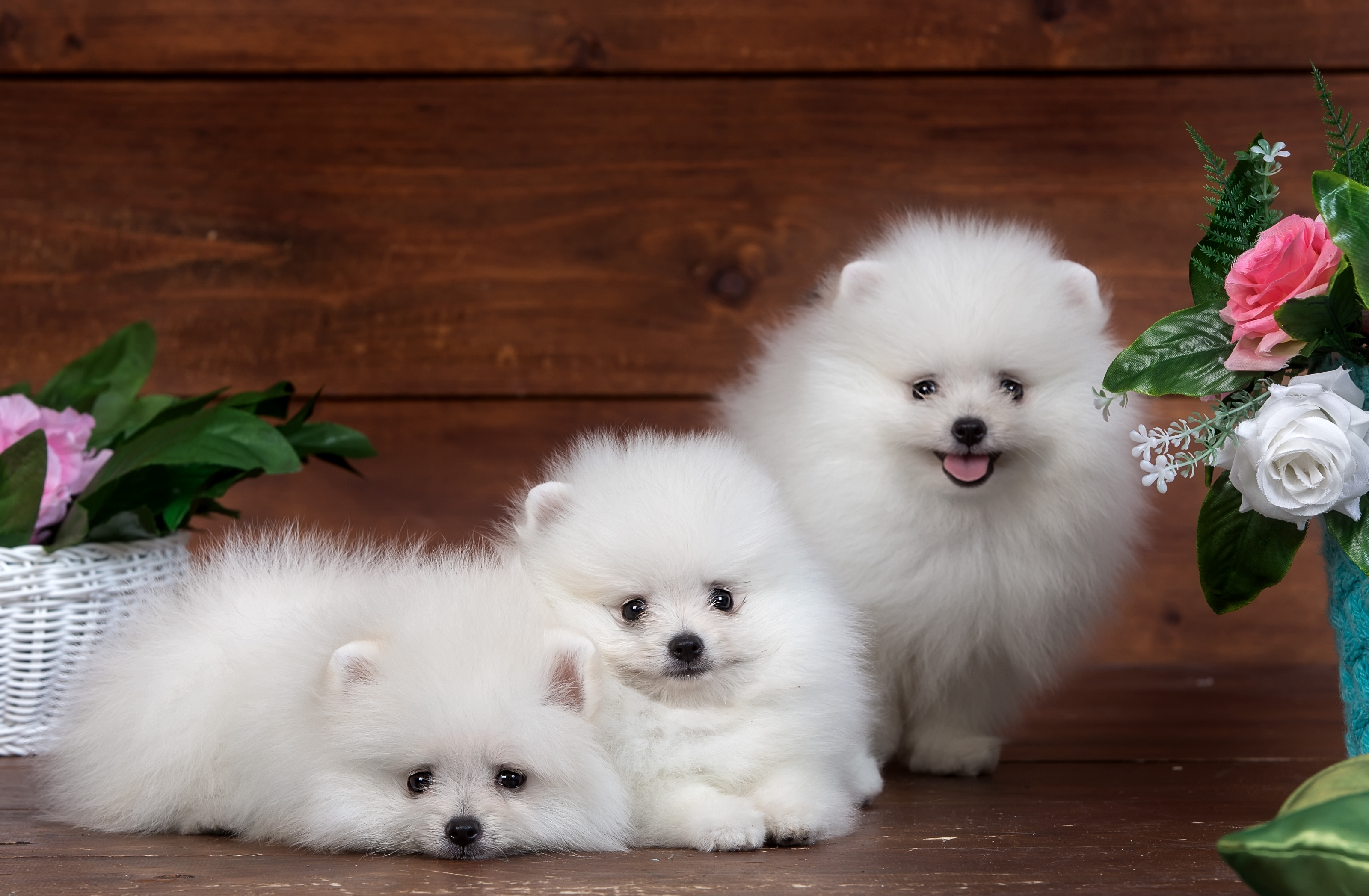 Three Pomeranian Puppies Fondo De Pantalla Hd Fondo De Escritorio 3200x2095 Id 738241 Wallpaper Abyss