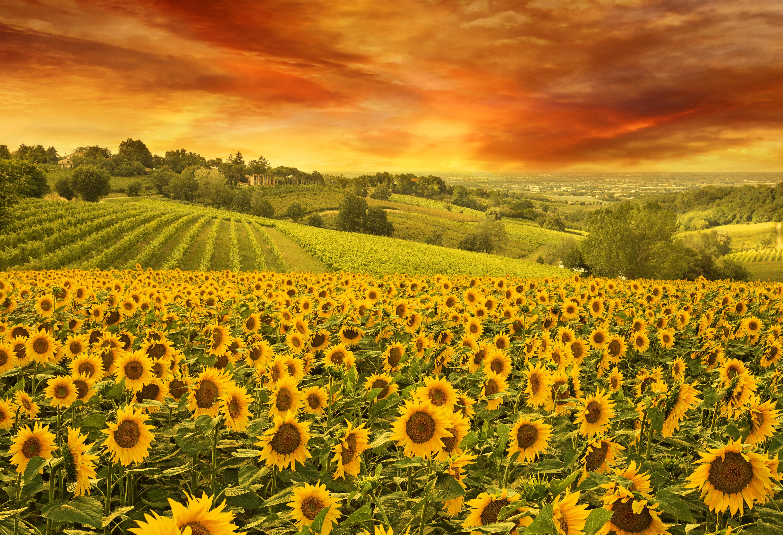 Sunset over Sunflower Field 5k Retina Ultra HD Wallpaper ...