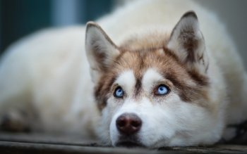 42 siberian husky hd wallpapers background images wallpaper