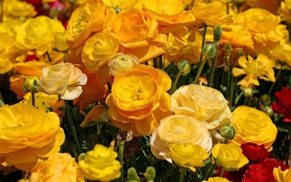 Earth Ranuncula Flowers Flower Yellow Flower Buttercup HD Wallpaper | Background Image
