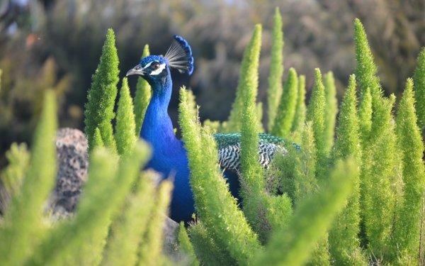 Animaux Paon Oiseaux Oiseau Plante Fond d'écran HD | Arrière-Plan