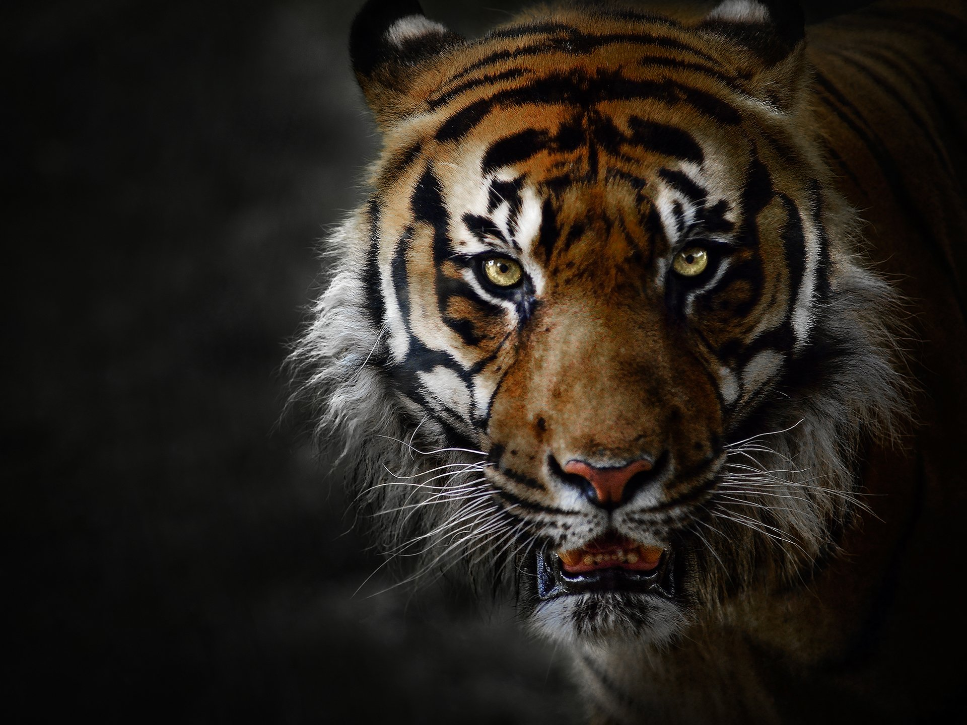 Animal - Tiger  Animal Face Big Cat Predator (Animal) Wallpaper