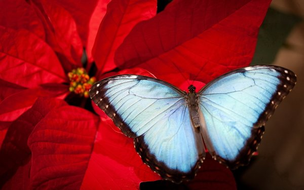 Animal Butterfly Flower Poinsettia HD Wallpaper   Background Image