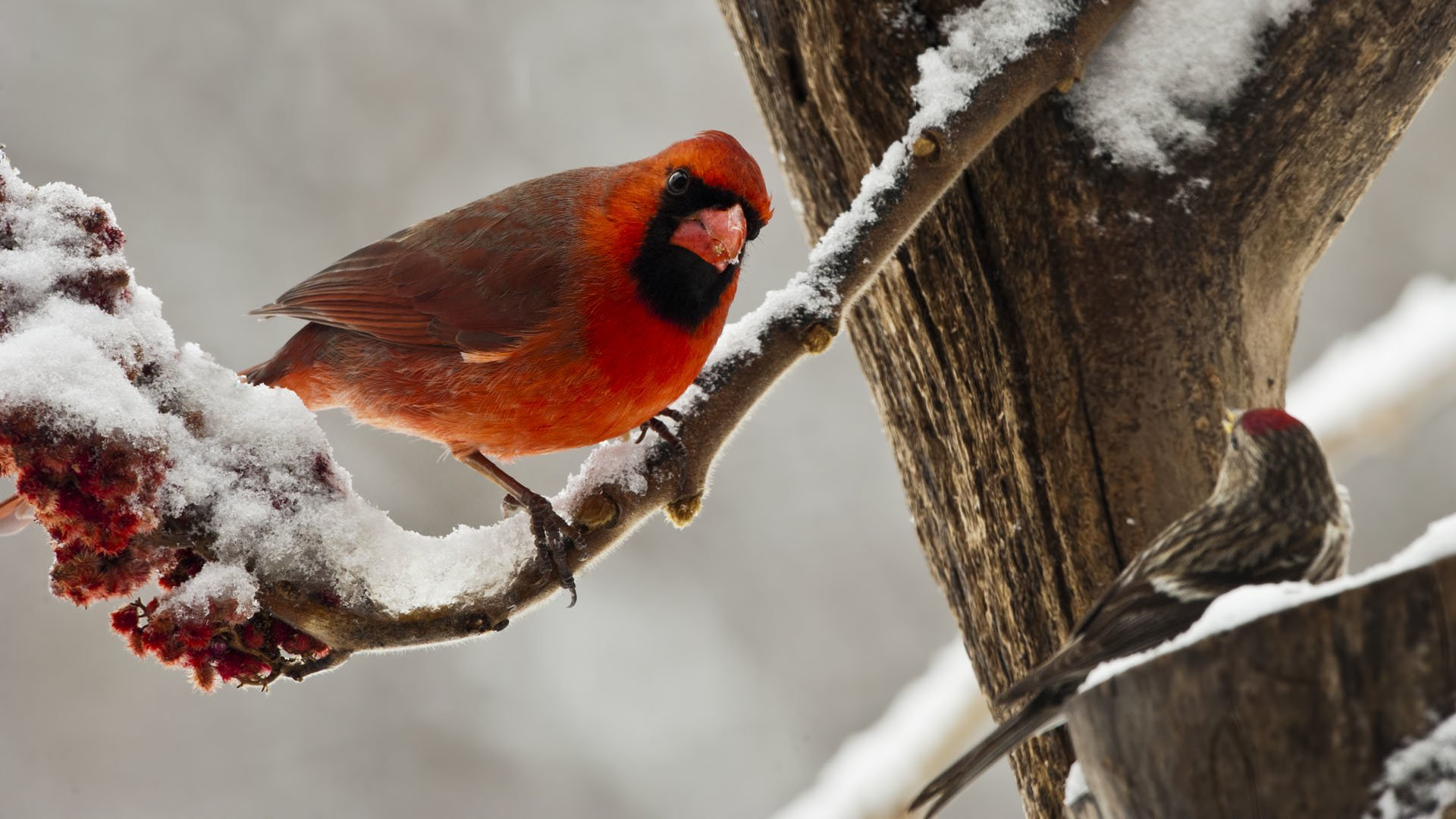 Northern cardinal on snowy branch hd wallpaper - Winter cardinal background ...