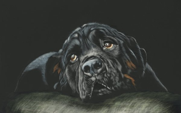 Animal Rottweiler Dogs Dog Muzzle HD Wallpaper | Background Image