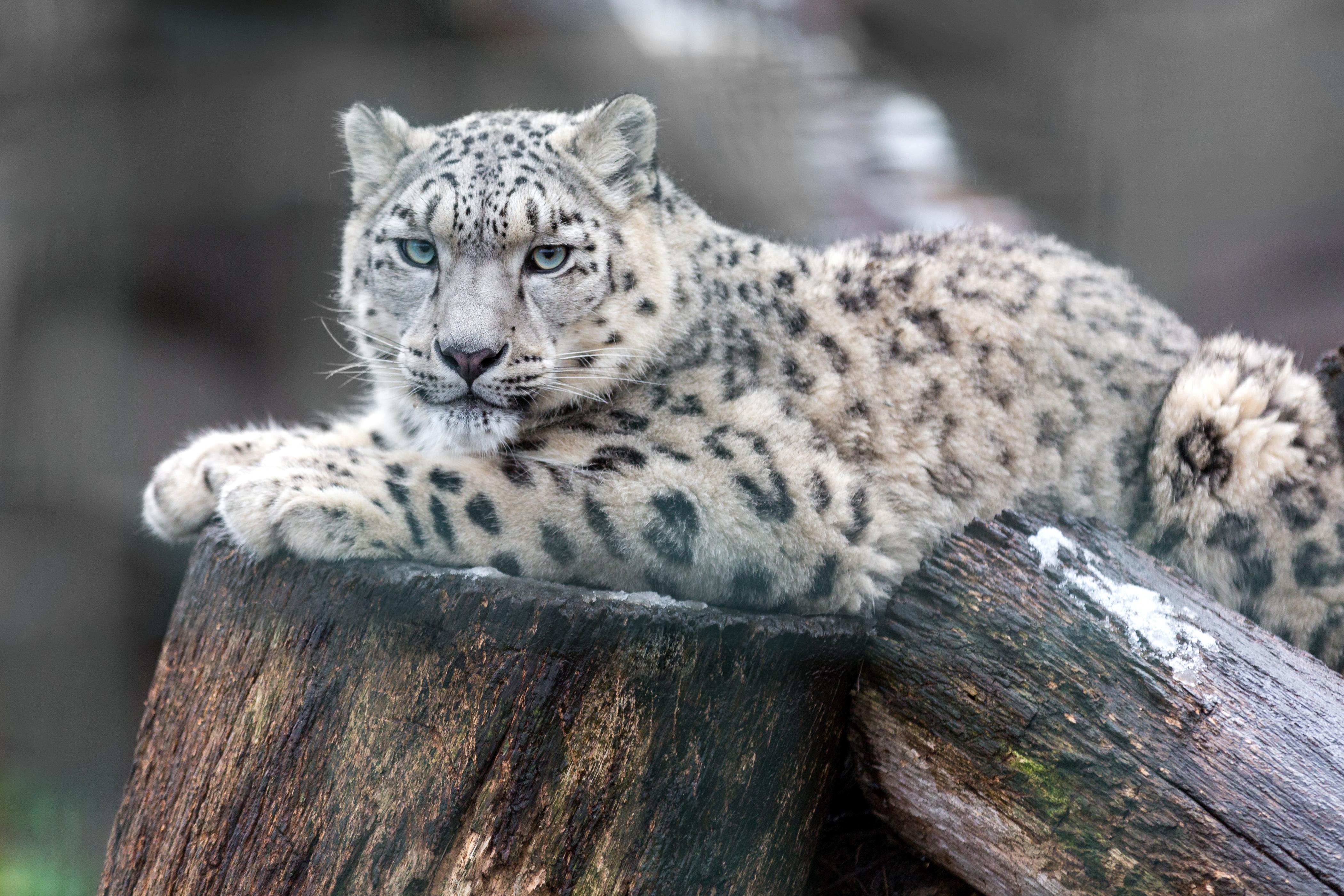 Snow Leopard 4k Ultra Hd Wallpaper Background Image 4200x2800 Id 779247 Wallpaper Abyss