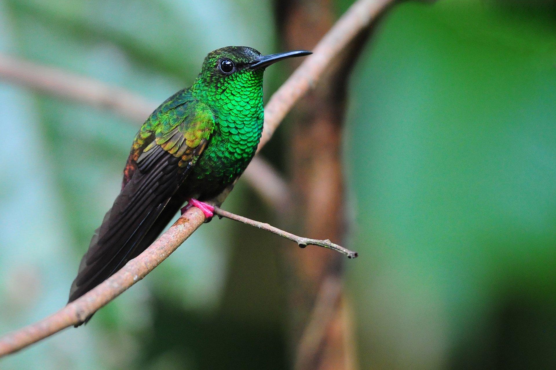 Animal - Hummingbird  Bird Wallpaper