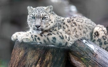 20 4k Ultra Hd Snow Leopard Wallpapers Background Images