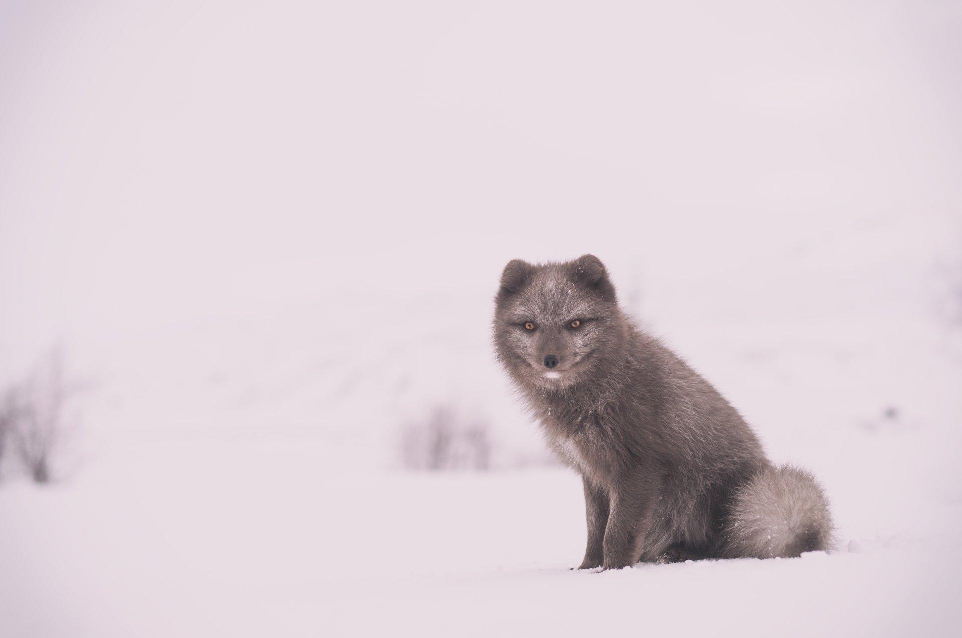 动物 - 狐狸  冬季 Snow Wildlife 壁纸