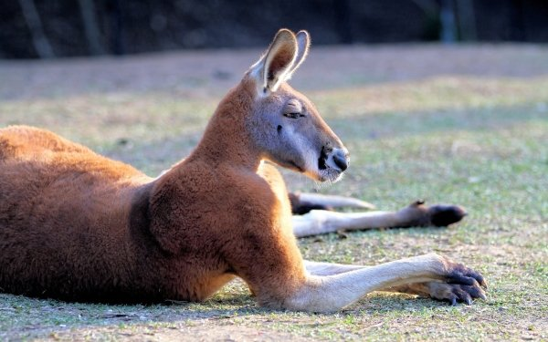 Animal Kangaroo Lying Down Australian Mammal Marsupial Wildlife HD Wallpaper | Background Image