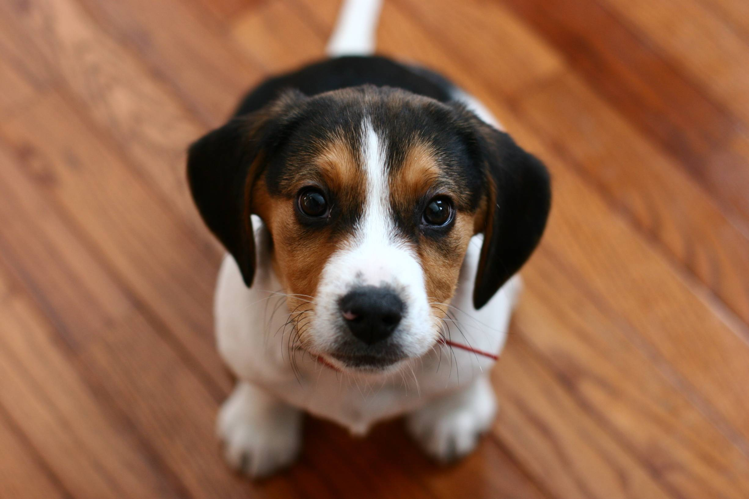 adorable beagle puppy hd wallpaper background image
