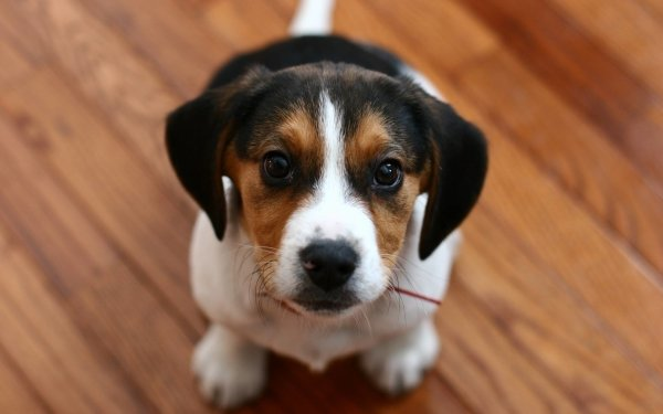 Animal Beagle Dogs Puppy Cute Baby Animal Muzzle HD Wallpaper | Background Image