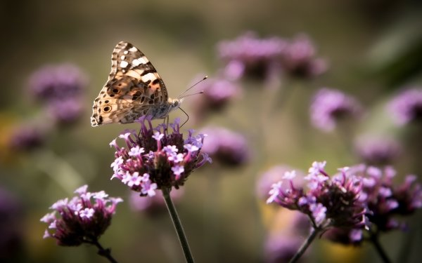 Animal Butterfly Insect Flower Pink Flower Nature Blur HD Wallpaper   Background Image