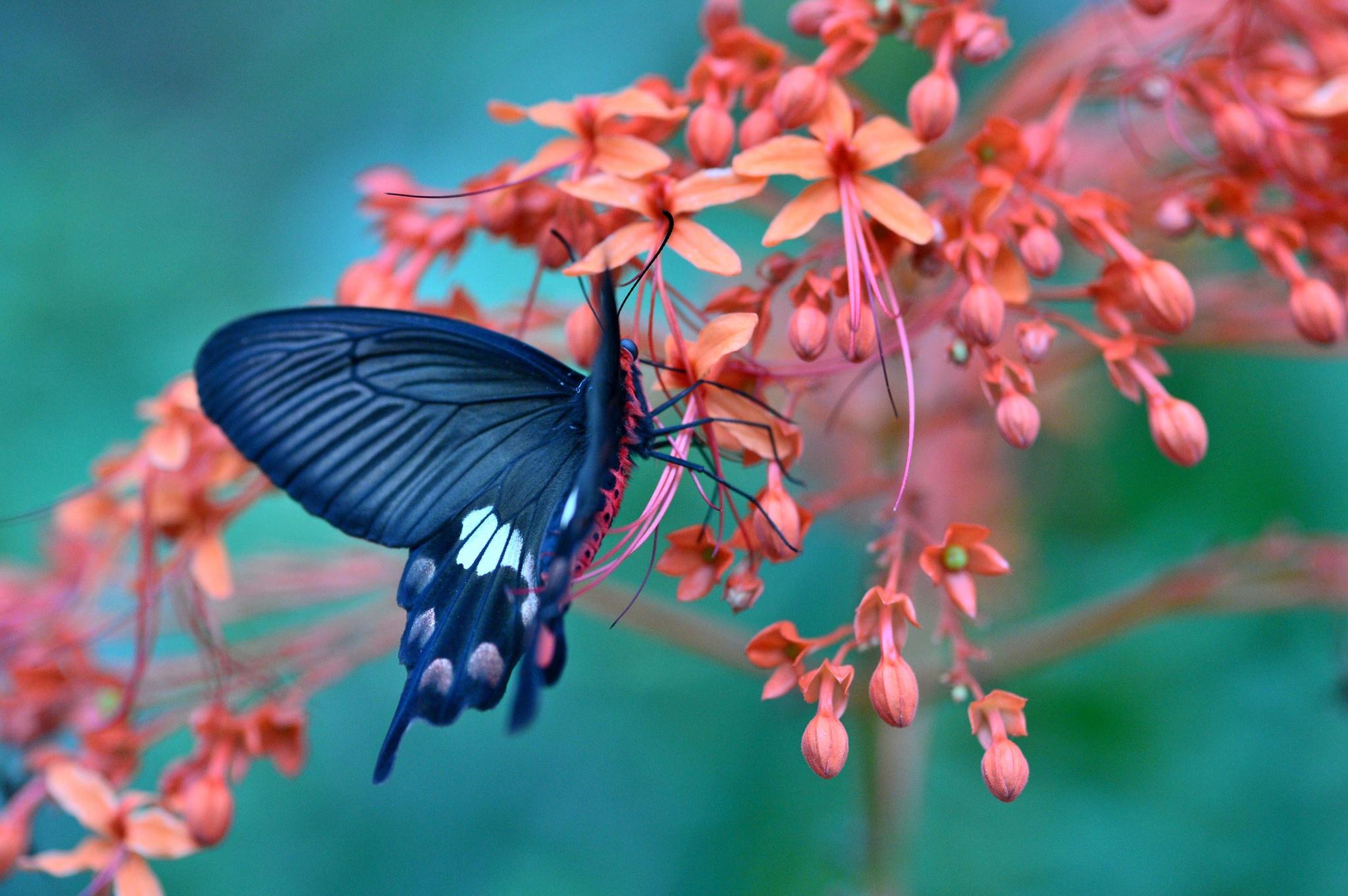 Blue Butterfly Fond d'écran HD | Arrière-Plan | 2048x1363 ...