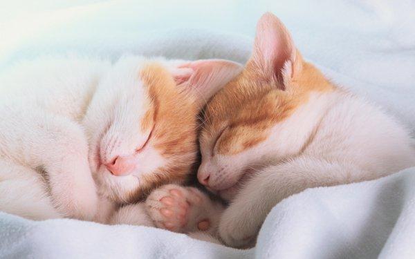 Animal Cat Cats Kitten Sleeping Cuddle Cute Close-Up HD Wallpaper | Background Image