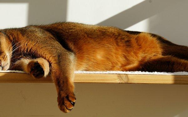 Animal Cat Cats Sleeping Shelf HD Wallpaper | Background Image