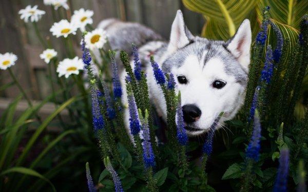 Animal Husky Dogs Flower Dog Garden Puppy Baby Animal Muzzle Blue Flower HD Wallpaper | Background Image