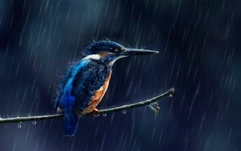 227 Kingfisher HD Wallpapers | Background Images - Wallpaper
