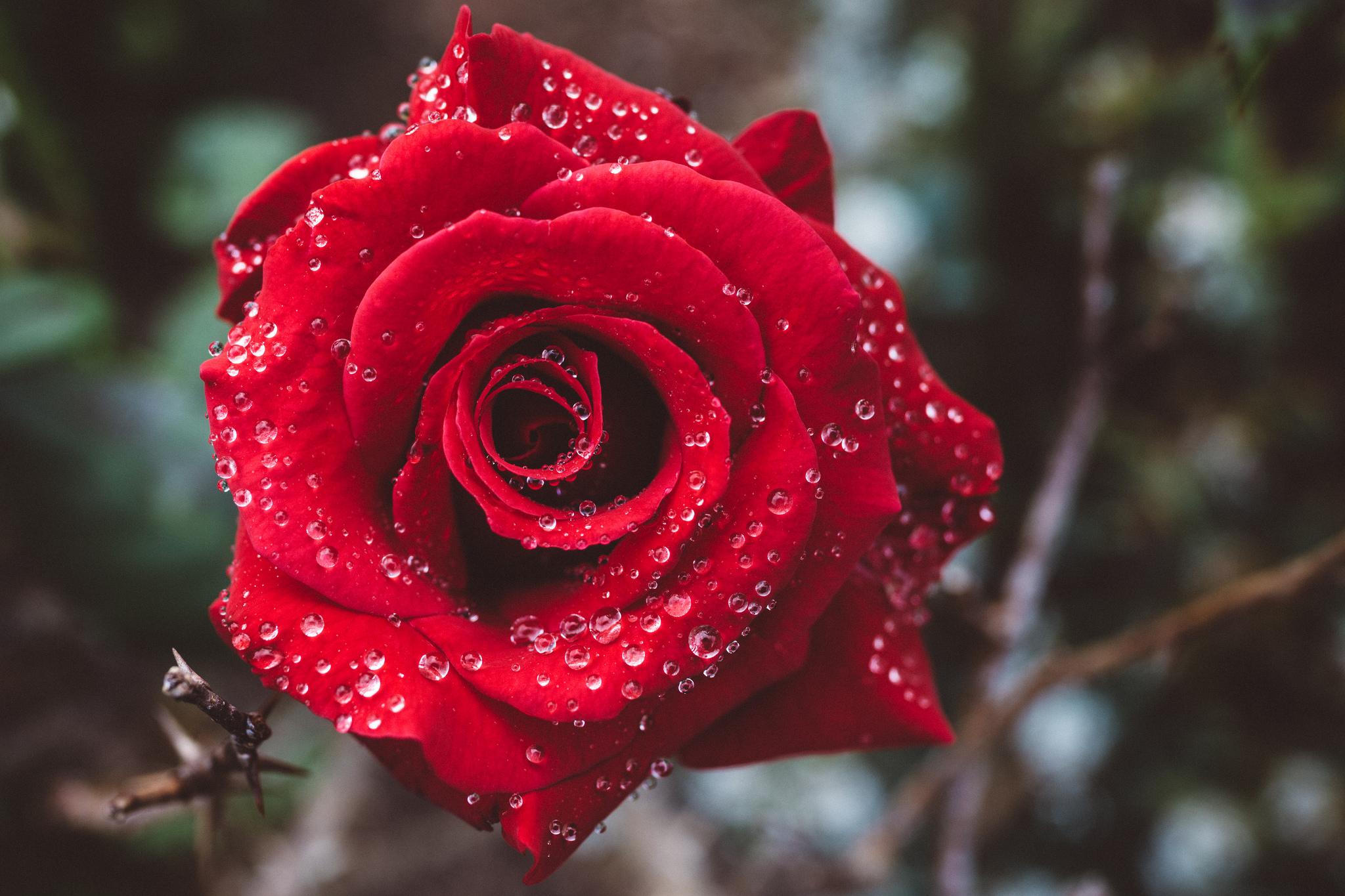 Good Morning Rose Hd Wallpaper Background Image 2048x1365 Id
