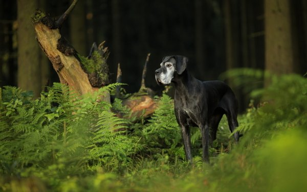 Animal Great Dane Dogs Dog Fern Nature Pet HD Wallpaper   Background Image