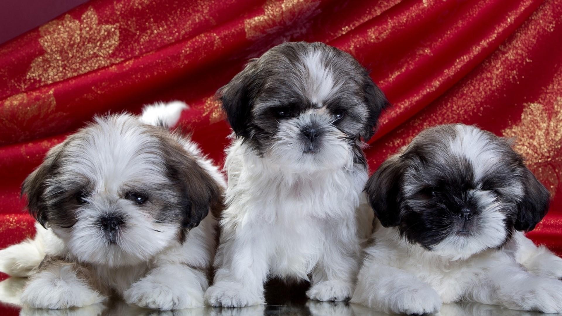 Shih Tzu Puppies Hd Wallpaper Background Image 1920x1080 Id