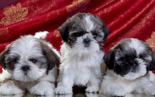 Animal Shih Tzu Dogs Dog Puppy Cute Baby Animal HD Wallpaper   Background Image