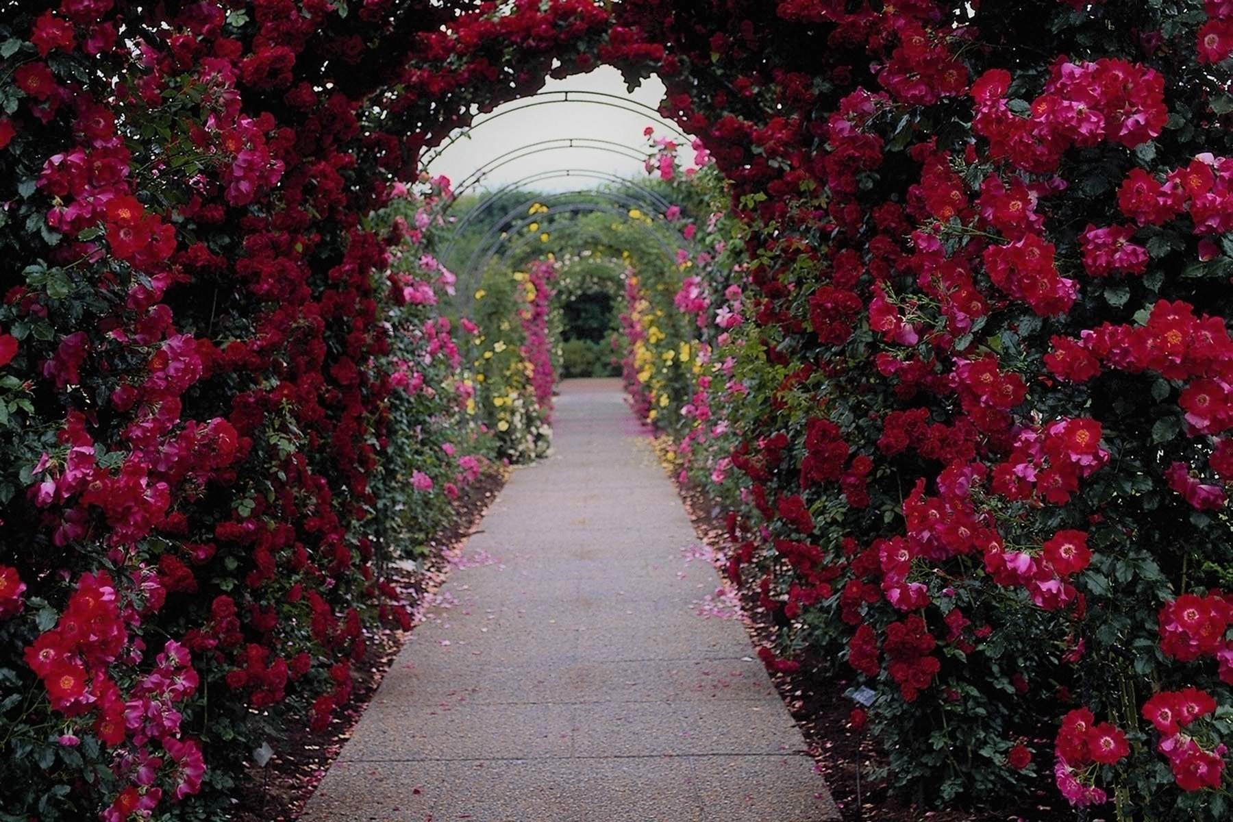 Rose garden arch wallpaper and background image - Big rose flower wallpaper ...