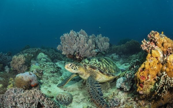 Animal Turtle Sea Life Underwater Coral HD Wallpaper   Background Image