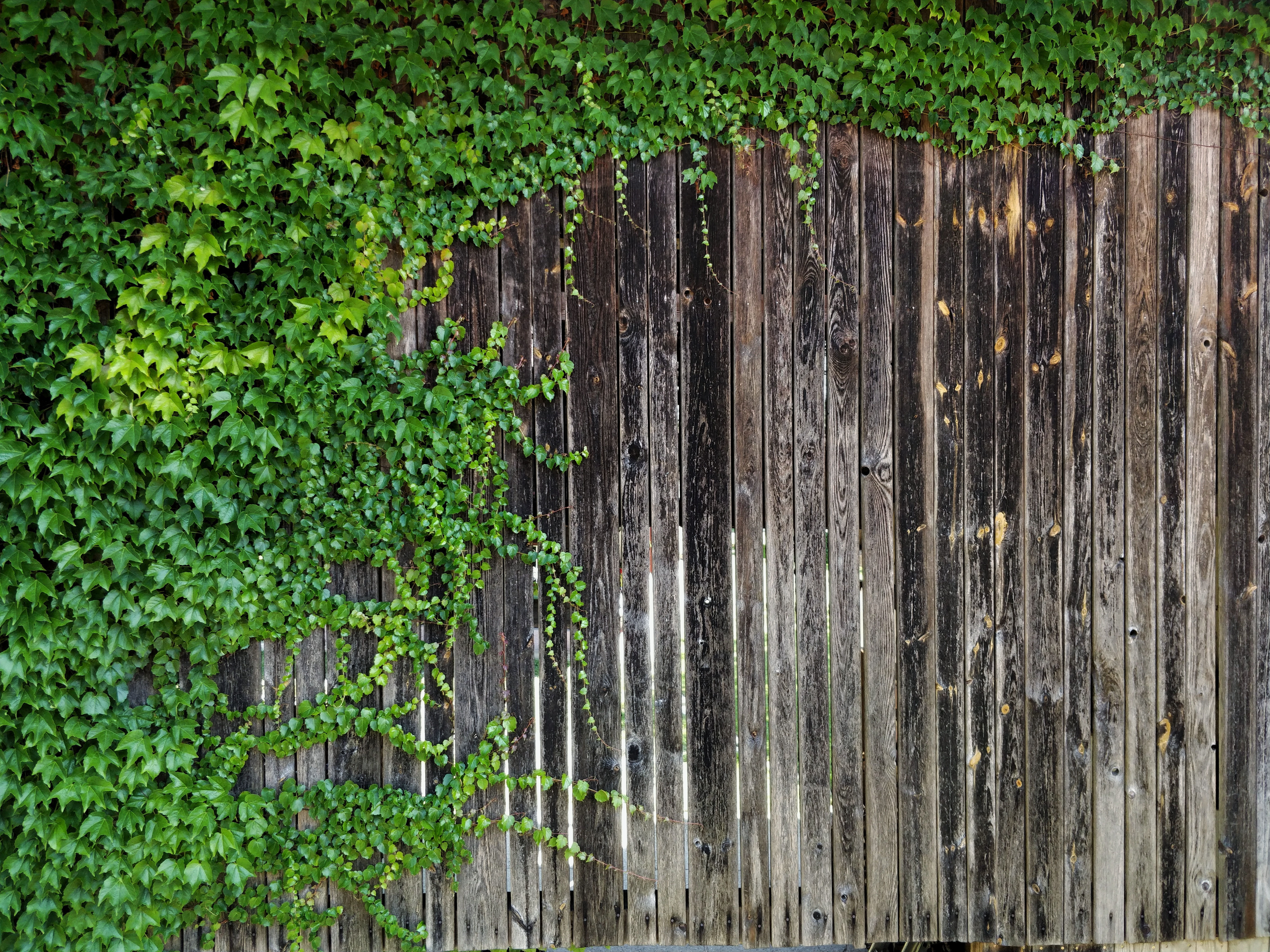 Wood With Ivy 4k Ultra Hd Wallpaper Background Image