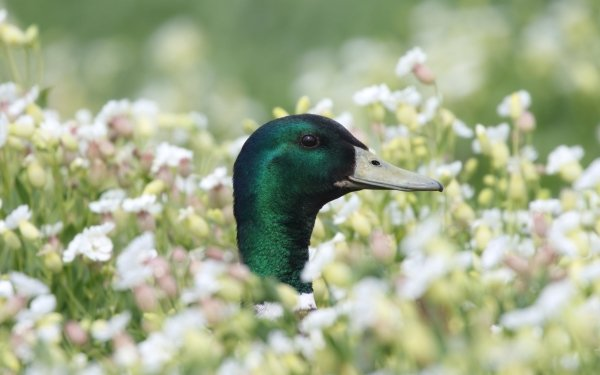 Animal Mallard Birds Ducks Duck Bird Wildlife Close-Up HD Wallpaper   Background Image