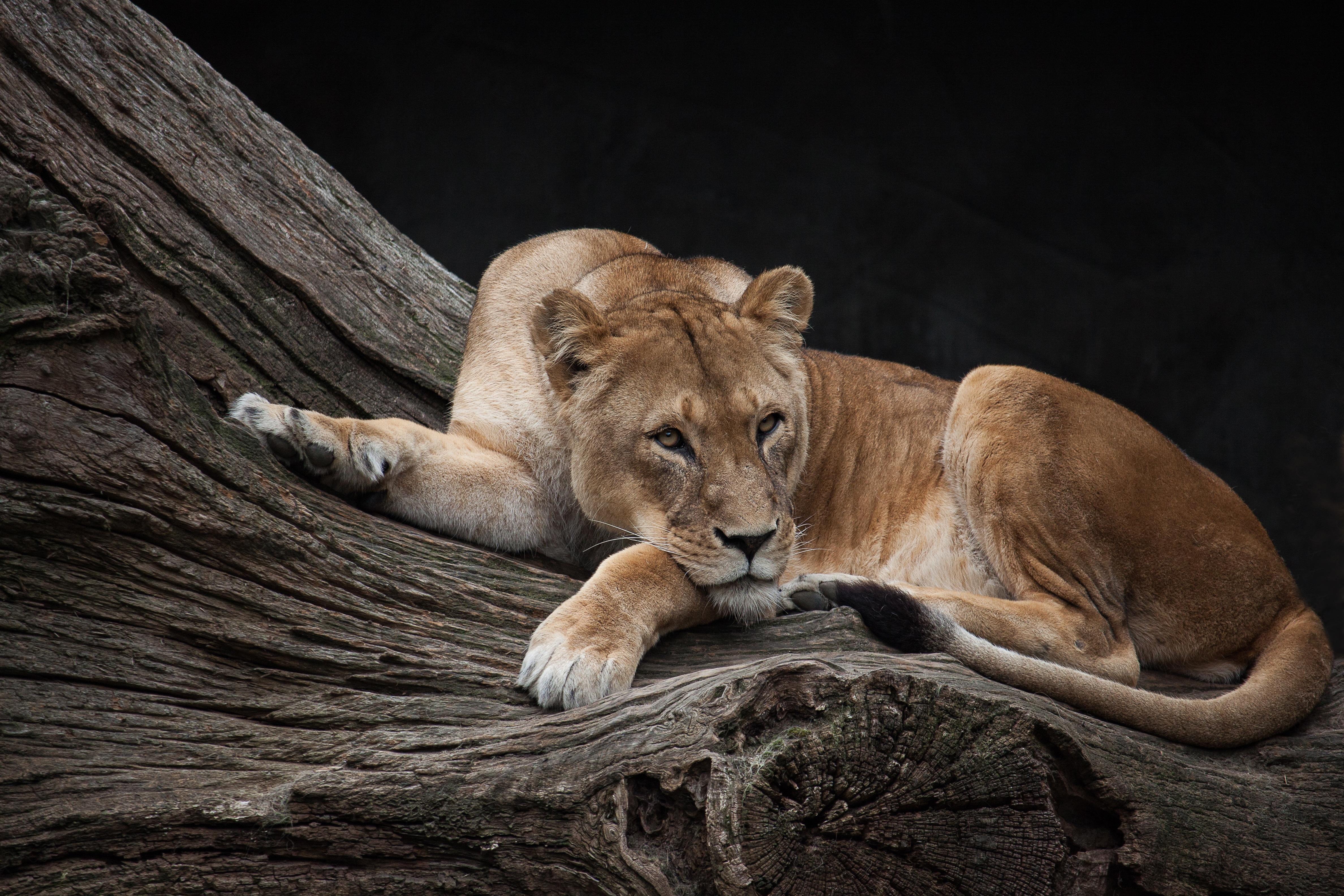 Lioness on a Tree Log 4k Ultra HD ...