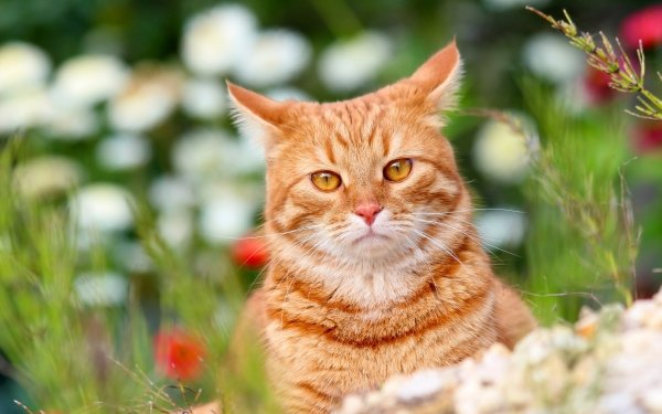 Animal Cat Cats Pet Depth Of Field Stare HD Wallpaper | Background Image
