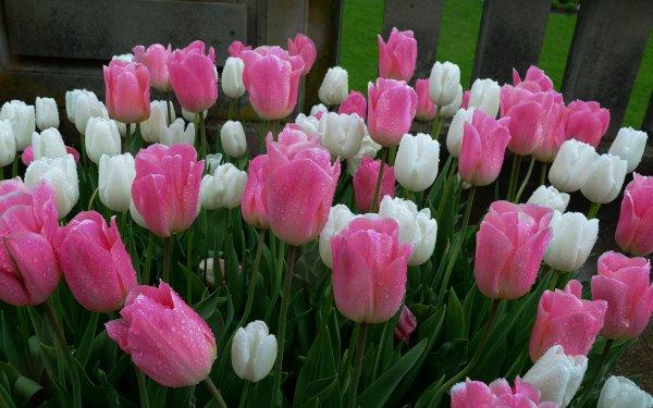 Earth Tulip Flowers Flower White Flower Pink Flower HD Wallpaper   Background Image