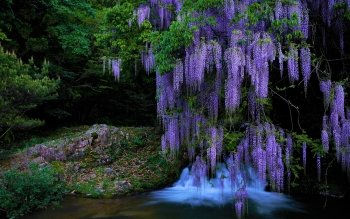 Wisteria Tree Full Hd Wallpaper And Background Image