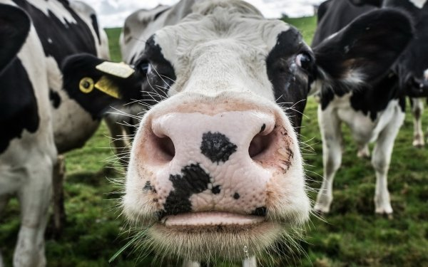 Animal Cow Close-Up Dairy Cow HD Wallpaper | Background Image