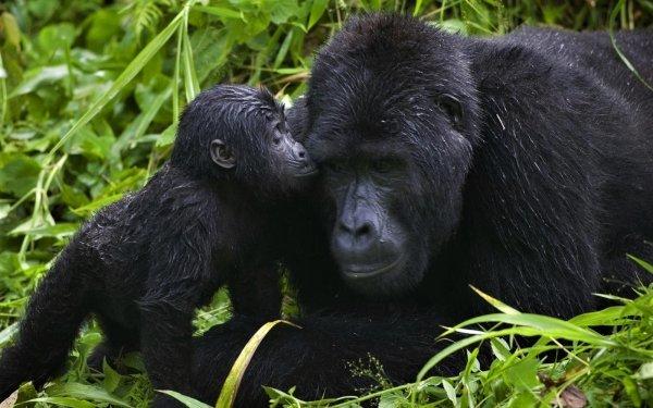 Animal Gorilla Monkeys Cute Love Baby Animal Ape HD Wallpaper | Background Image