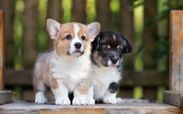 Animal Puppy Dogs Dog Pet Baby Animal Corgi HD Wallpaper   Background Image