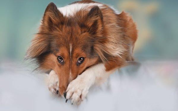 Animal Shetland Sheepdog Dogs Dog Pet Stare HD Wallpaper   Background Image