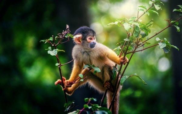 Animal Squirrel monkey Monkeys Monkey Primate Wildlife Bokeh HD Wallpaper | Background Image