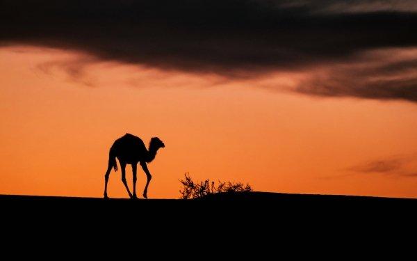 Animal Camel Tassili N'Ajjer Algeria Africa Sunset Desert Sahara HD Wallpaper   Background Image