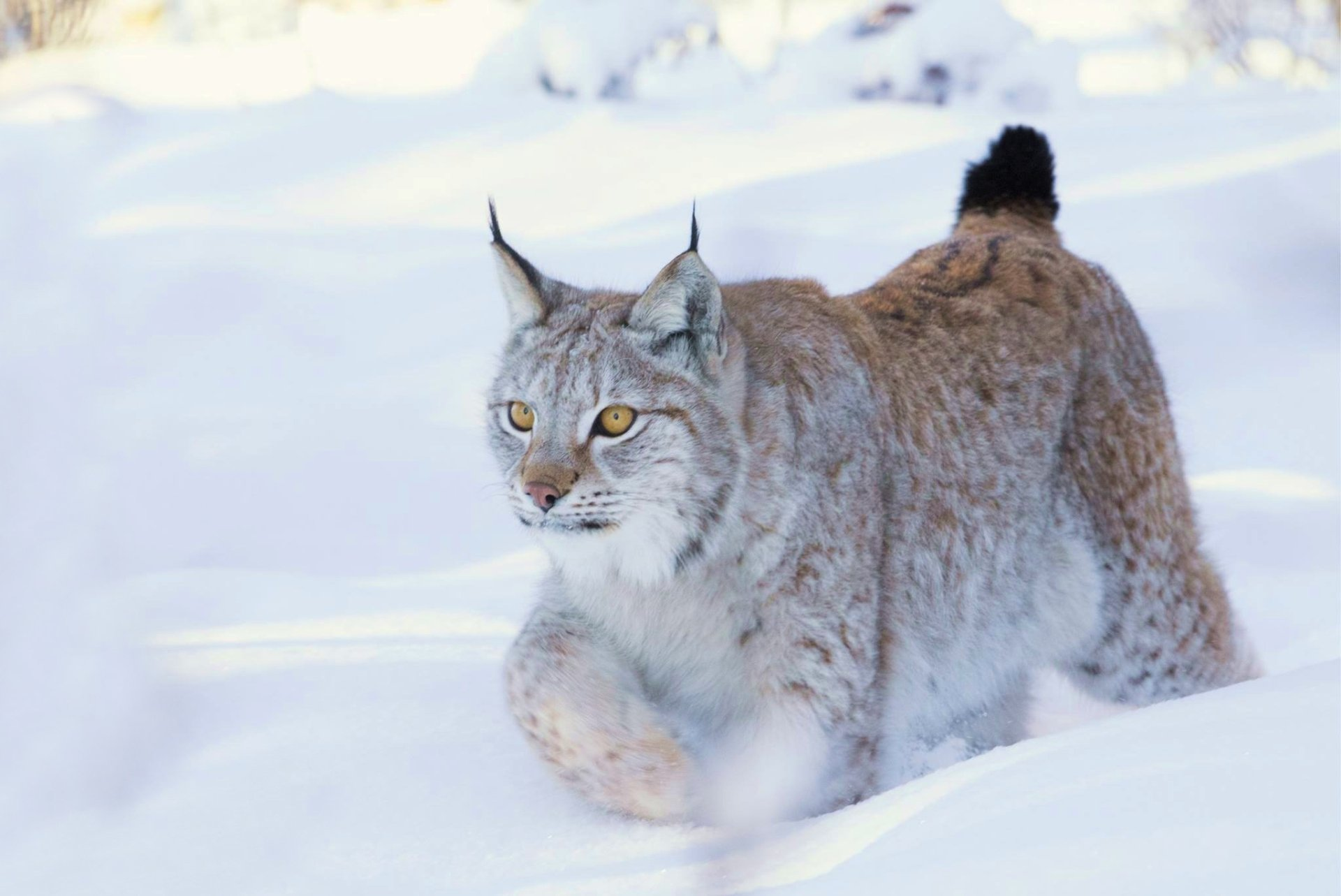Animal - Lynx  Wildlife Big Cat Snow Winter predator (Animal) Wallpaper