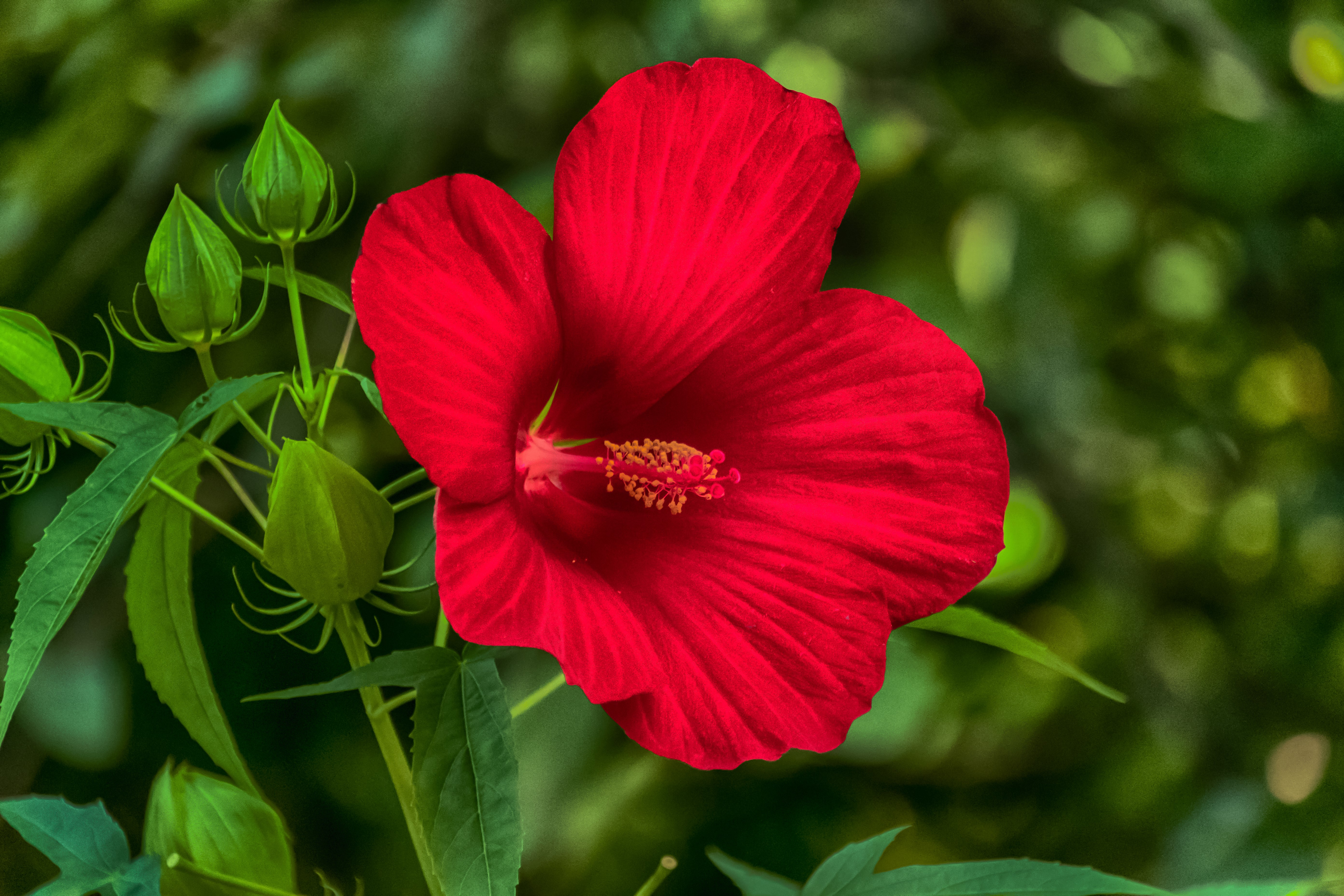 red hibiscus 5k retina ultra hd wallpaper and background image
