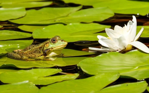 Animal Frog Frogs Amphibian Wildlife Water Lily HD Wallpaper | Background Image
