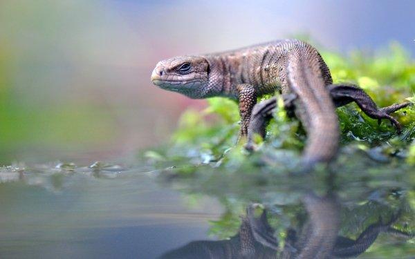 Animal Agama Reptiles Wildlife Reflection Reptile Lizard HD Wallpaper | Background Image