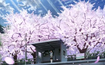 68 4k Ultra Hd Cherry Blossom Wallpapers Background Images Wallpaper Abyss