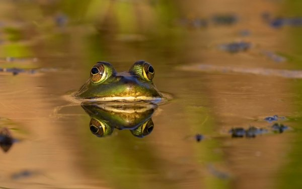 Animal Frog Frogs Wildlife Amphibian Water HD Wallpaper   Background Image