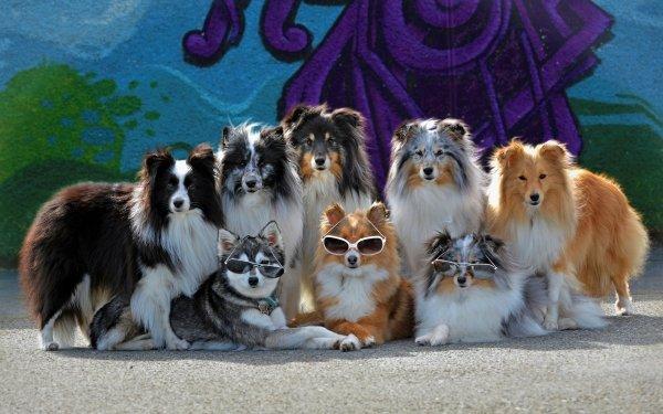 Animal Shetland Sheepdog Dogs Dog Cute Pet Sunglasses Alaskan Klee Kai HD Wallpaper   Background Image