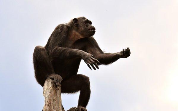 Animal Chimpanzee Monkeys Monkey Ape Zoo Primate HD Wallpaper | Background Image