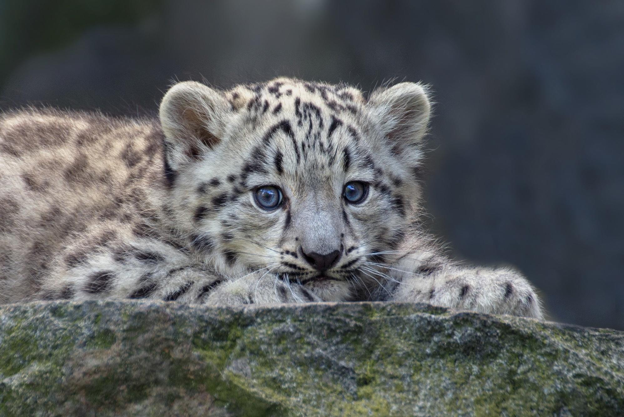 Snow Leopard Wildlife Wallpapers ID935249