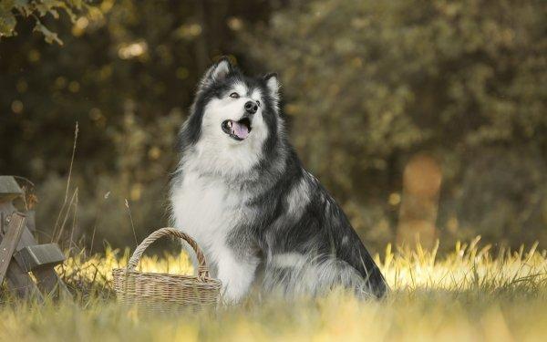 Animal Dog Dogs Pet Alaskan Malamute HD Wallpaper | Background Image